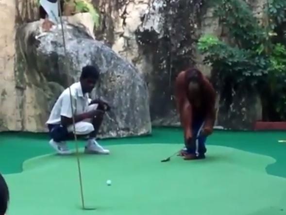 This orangutan is a better putter than most!