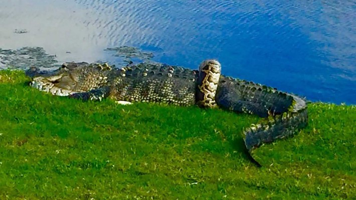Incredible moment an alligator battles a python on a Florida golf course