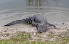 alligator eats golf ball