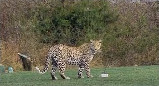 WATCH: Would you peg it up with this WILD CHEETAH on the tee box?