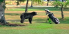 Bear runs at golfer then climbs tree at golf course in British Columbia